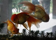 Goldfish (Submitted by Ru Wagner)