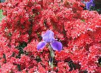 Azalea and Iris (sumbitted by Mike Pierce)