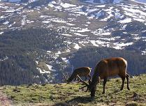 Elk in the Rocky mountain