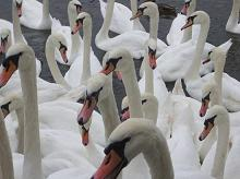 Regatta of Swans