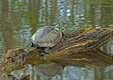 Turtle on cypress log