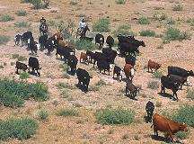 Round up cattle