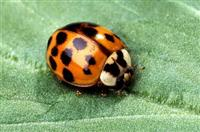 The Asian multicolored lady beetle