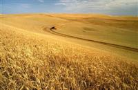 Wheat harvest on the Palouse