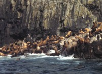 Aiugunak Pinnacles Steller Sea lions