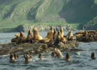 Amak Island, Stellers Sea Lion haul out