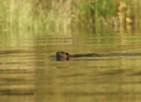 Beaver on Kanuti Lake