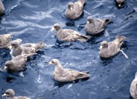Northern Fulmar Flock,1987