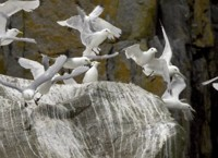 Black-legged kittiwakes flying near cliff