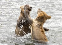 Brown bear cubs playing in water