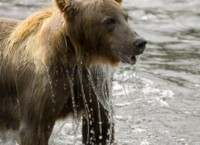 Brown bear emerging from water