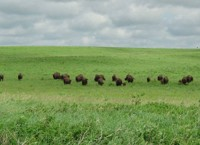 Bison grazing beneath cloudy sky