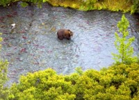 Brown bear in the Upper Russian River