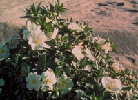 Eureka Evening Primrose