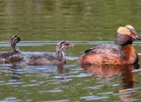 Horned Grebe with Young