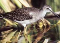 Lesser Yellowlegs in Wetlands