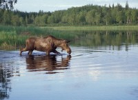 Moose Feeding in Lake
