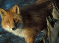 Red Fox at Shipwreck Courtney Ford