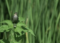 Red-Winged Black Bird (female)