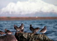 Rock Sandpipers at Rocky Shoreline