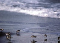 Sanderlings at Shoreline