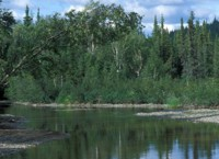 Spruce and Birch Forest along Kanuti river
