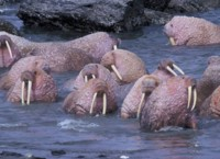 Walrus on Togiak National Wildlife Refuge