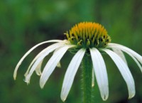White narrow-leaved Coneflower