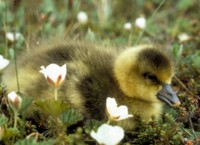 White-fronted Goose Gosling