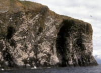 Black-legged Kittiwake Colony