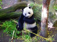 Panda Bear, San Diego, California, USA