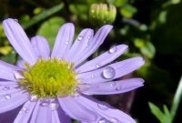 Purple flower and raindrops