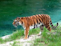 A tiger by the water