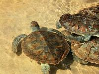 Turtles, Grand Cayman