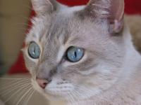 A Blue Eyed Cat