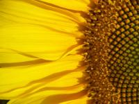 Sunflower- Macro