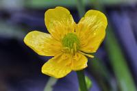 Marsh Marigold flower