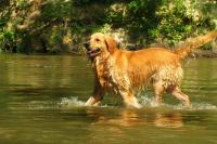 Golden Retriever in the water