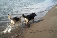 German Shepherds running on the beach