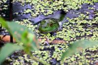 A frog in the lake