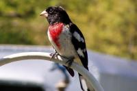 Rose grosbeak bird