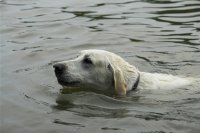 A Swimming Dog
