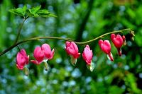 Bleeding Hearts flowers