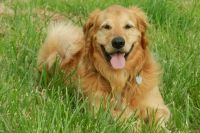 Golden Retriever lying on the grass