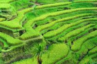 Rice terrace field, Indonesia