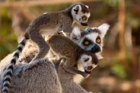 Goup of Ring-Tailed Lemurs