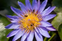 Bees on Purple Lotus