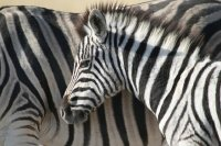 Baby Zebra Close-up