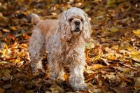American Cocker Spaniel in Autumn Forest