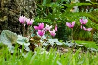 Cyclamens and Fern